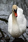 12th Sep 2020 - swan