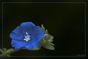 11th Sep 2020 - Hawaiian Blue Eyes