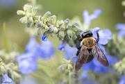 12th Sep 2020 - Carpenter Bee