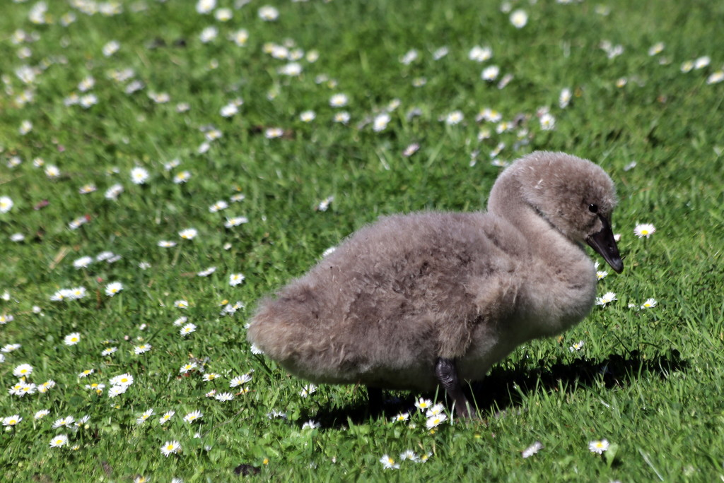 No ugly duckling! by gilbertwood