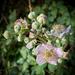 Last of the Blackberry Blossom