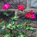 Rosebush at the church