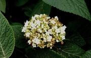 28th Aug 2020 - Wayfaring tree blossom