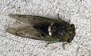 10th Sep 2020 - Cicada on the driveway