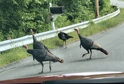 14th Sep 2020 - Why did the turkey cross the road?