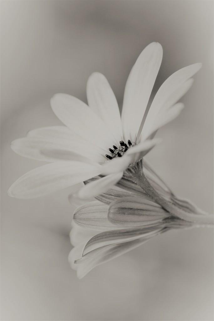 Daisies bw.......... by ziggy77