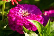 12th Sep 2020 - Chrysanthemum, I think