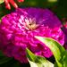 Chrysanthemum, I think