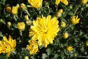 13th Sep 2020 - Yellow Mums