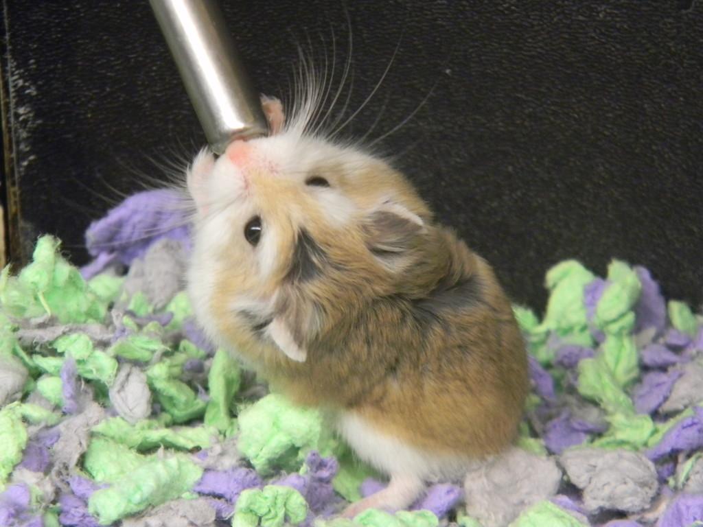 Hamster Drinking Water  by sfeldphotos