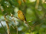13th Sep 2020 - american goldfinch