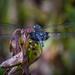 Dragonfly Jewel