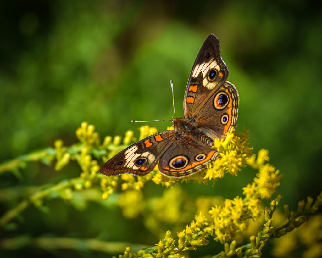 Buckeye and Wildflower by marylandgirl58