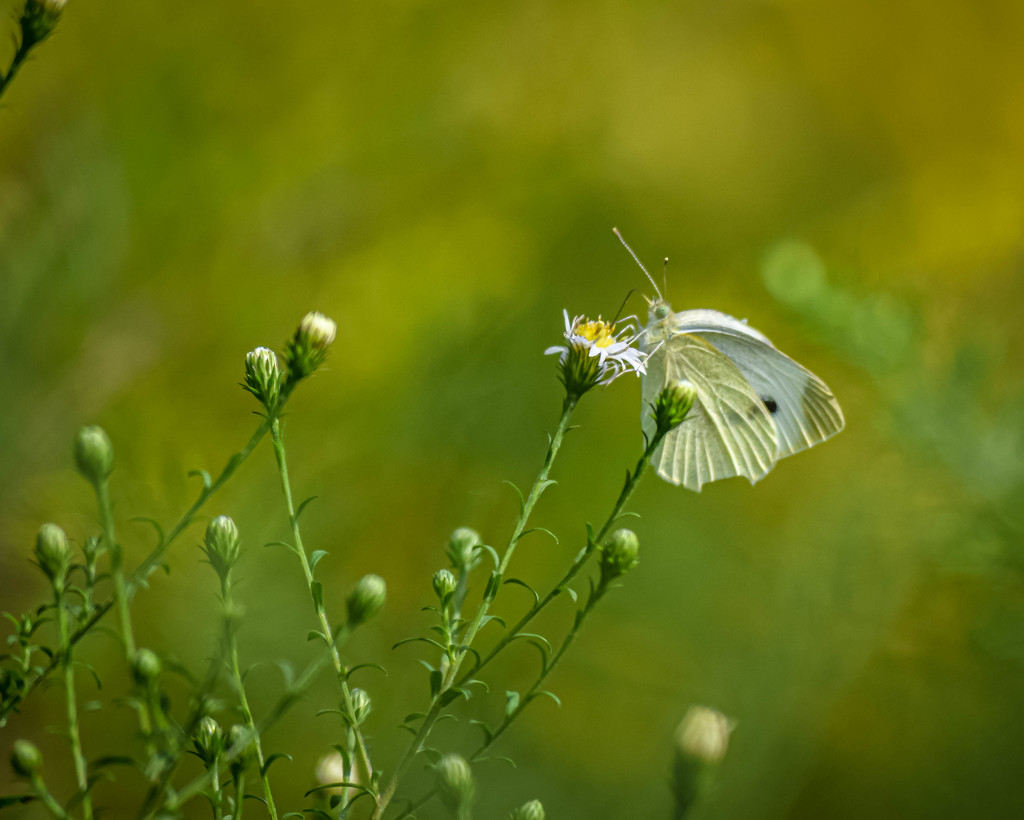 White Butterfly Shallow DOF by marylandgirl58