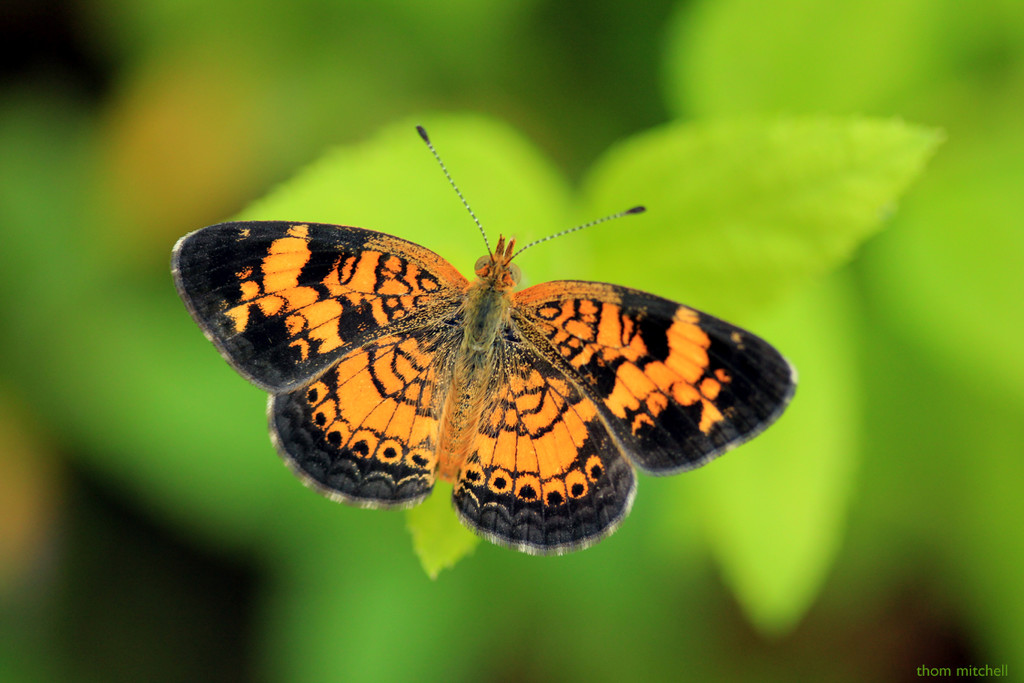 Pearl Crescent by rhoing