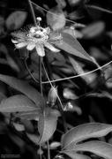 14th Sep 2020 - Passiflora incarnata in black and white...