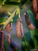 14th Sep 2020 - Crotalaria Spectabilis Seed Pods...