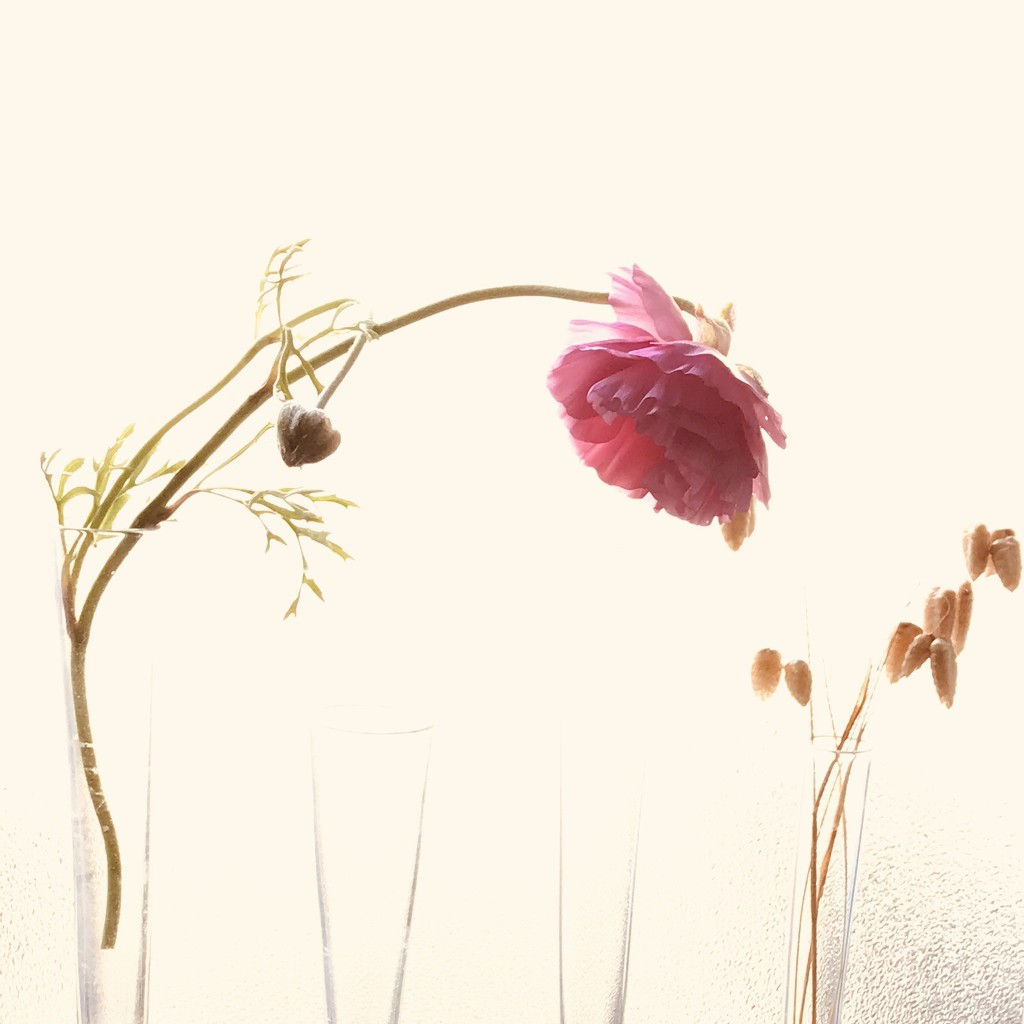 Ranunculus and Shivery Grass by carolinesdreams
