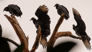 13th Sep 2020 - Vultures Trying to Dry Their Wings!