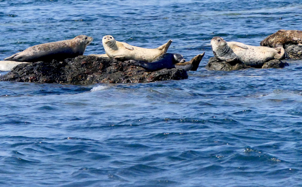 Harbor Seals by redy4et
