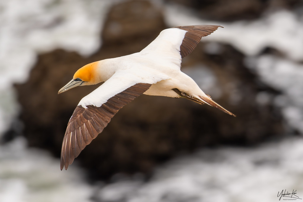 Gannet in flight by yorkshirekiwi