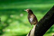 14th Sep 2020 - Young thrush