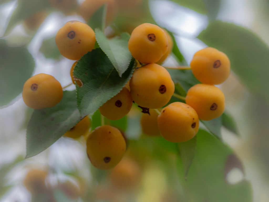 The fruit is ripe by haskar