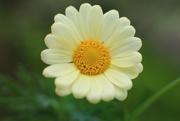 14th Sep 2020 - daisy