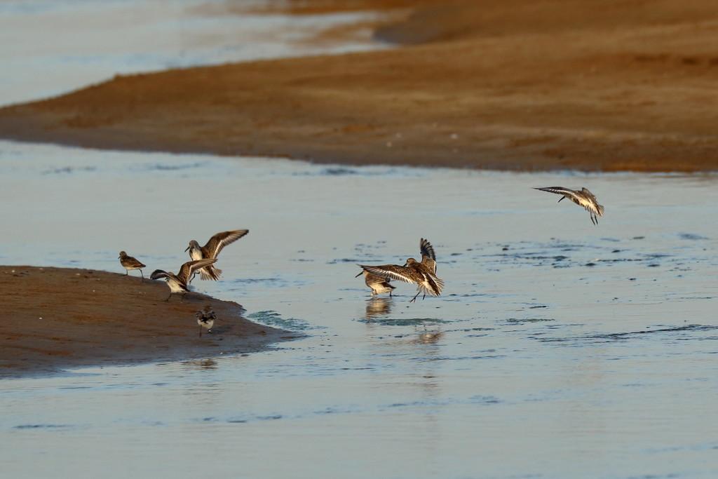 Landing Sandpipers by ingrid01