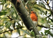 14th Sep 2020 - Singing his autumn song