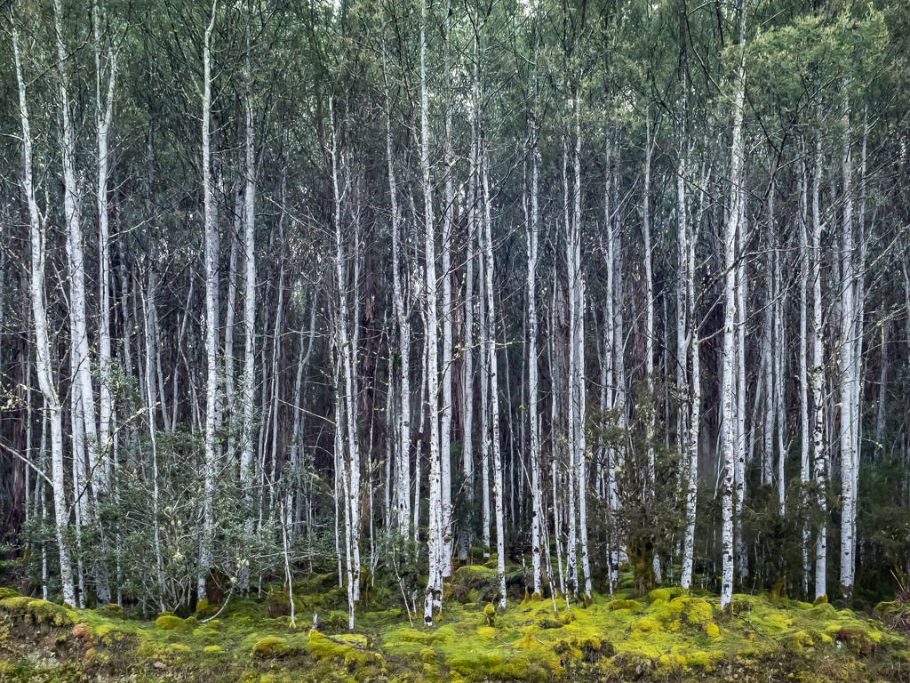 Birch forest by gosia