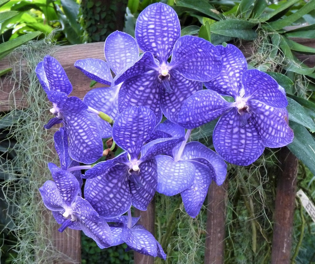 BLUE ORCHID by santina