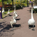 S Is For Six Swans Slowly Strolling In The Sun!