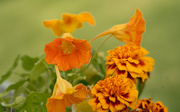 13th Sep 2020 - Nasturtium