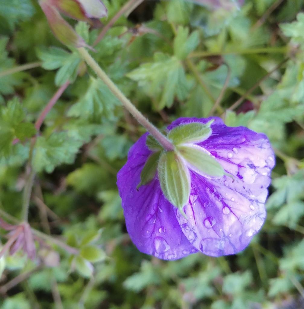 Rainy morning: purple flower by houser934