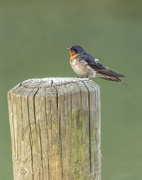 14th Sep 2020 - swallow