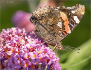 14th Sep 2020 - Red Admiral