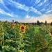 Sunflowers horizon.