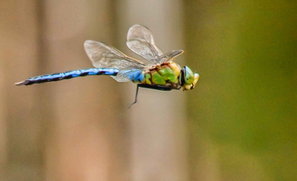 Dragonfly by pamknowler