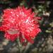Papaver (Poppy) by pyrrhula