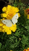 14th Sep 2020 - Surprise Butterfly!