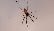 14th Sep 2020 - Another Orb Weaver Spider!