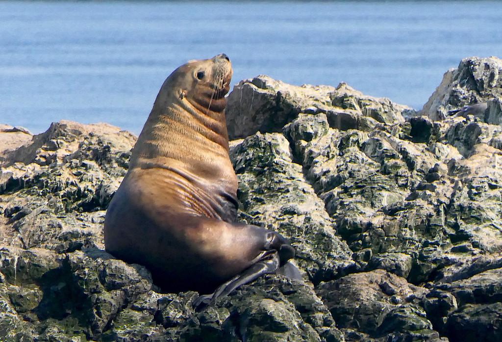 Steller Sea Lion by redy4et