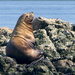 Steller Sea Lion by redy4et