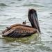 """Heermann's Gull Begging, """"Pleaseeeeee"""" by nicoleweg"""