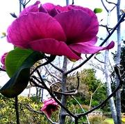 14th Sep 2020 - Magnificent Magnolia