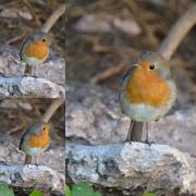 15th Sep 2020 - Robin