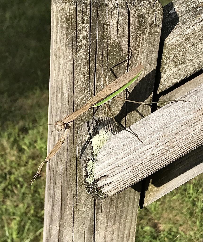 Praying Mantis  by mjmaven