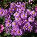 Michaelmas daisies at the Picton Garden