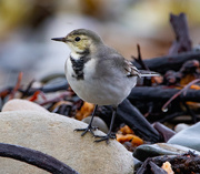 15th Sep 2020 - Wagtail Day